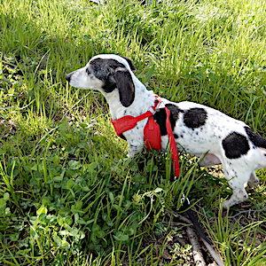 シニア犬の散歩